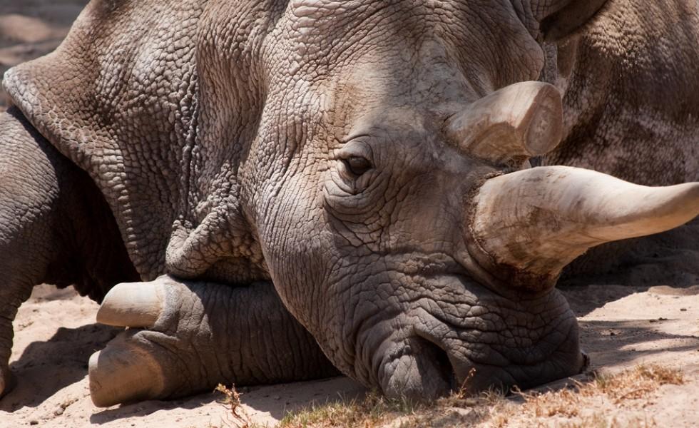 Rhino in danger